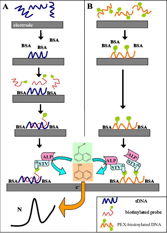 Dna clipart genotype Dna genotype Transparent FREE for ...