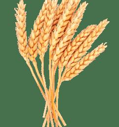 grain clipart wheat bunch grass bundle huge [ 2443 x 3410 Pixel ]