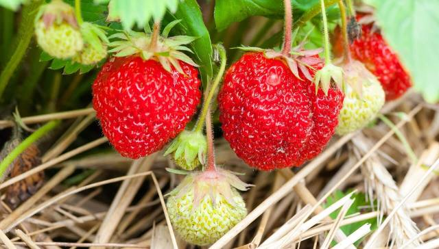 growing strawberry