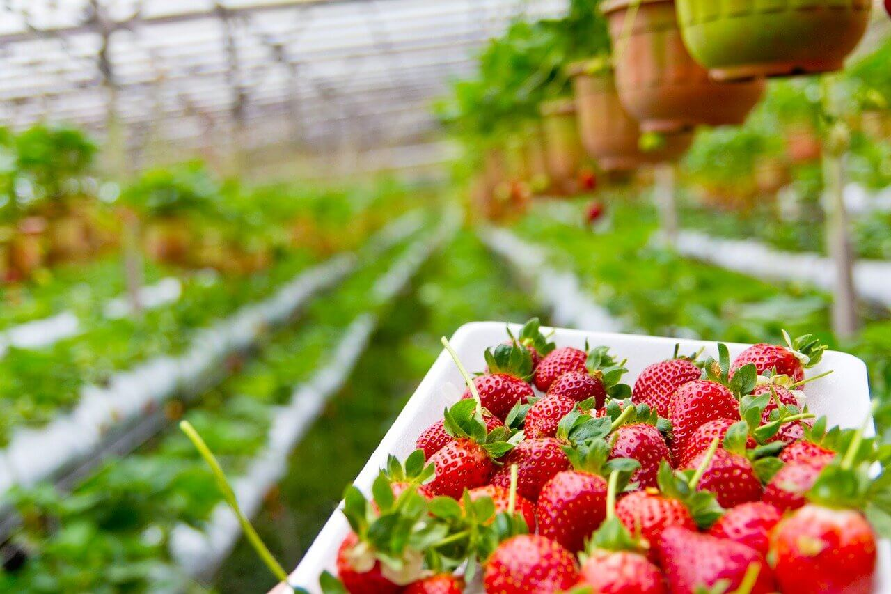 How to planting Strawberry, Growing Tips, Techniques and Care