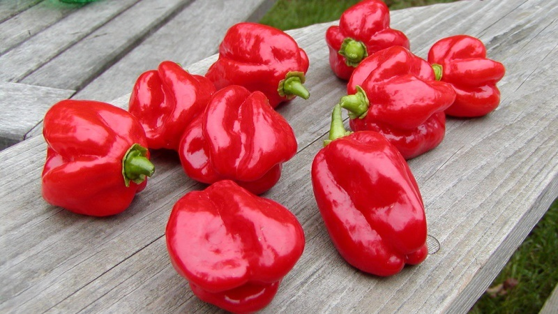 red-savina-habanero