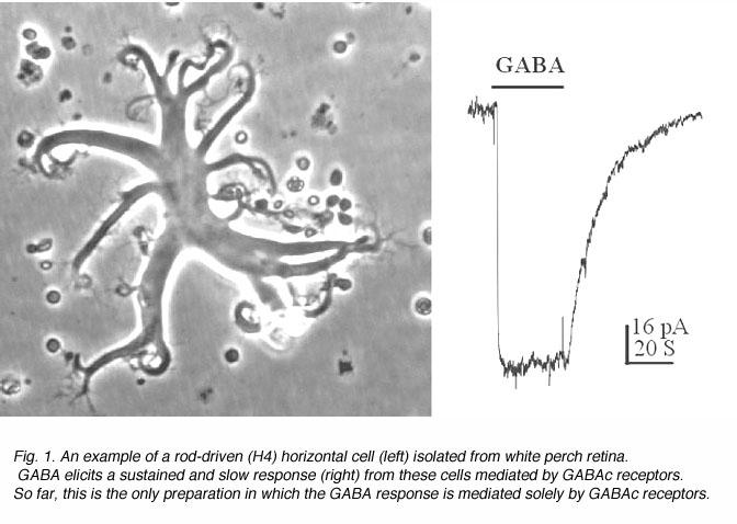GABAc Receptors In The Vertebrate Retina By Haohua Qian
