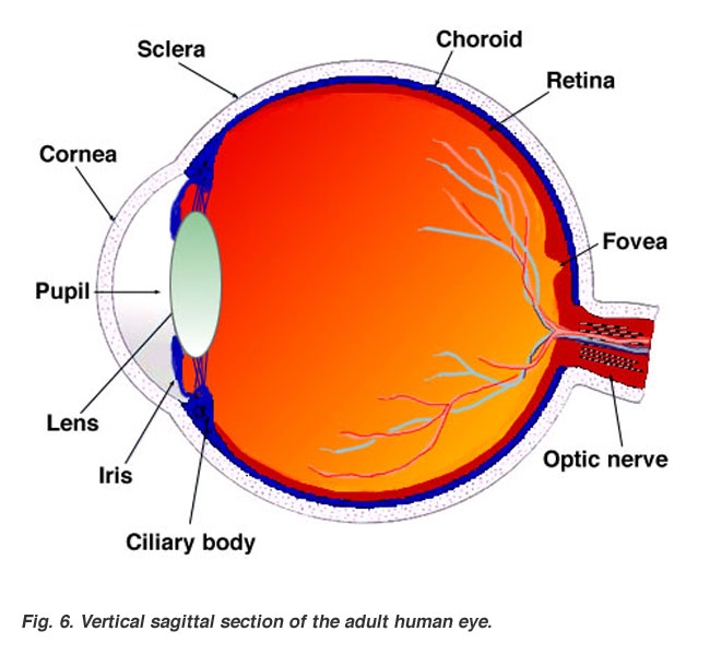 human eye parts diagram 3 pole 4 way rotary switch wiring gross anatomy of the by helga kolb webvision sagittal section adult