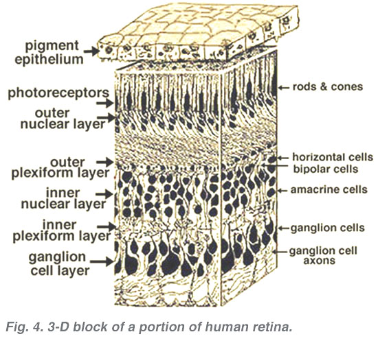 simple eye diagram to label 1995 toyota camry wiring anatomy of the retina by helga kolb – webvision