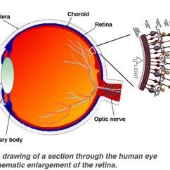 Structure Of Human Eye With Diagram Western Ultramount Wiring Simple Anatomy The Retina By Helga Kolb  Webvision