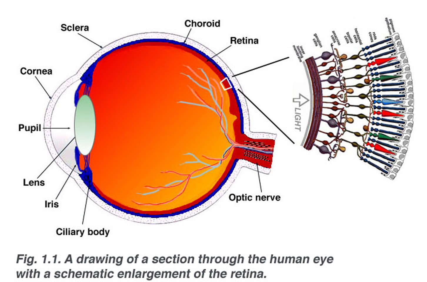 hight resolution of a schematic section through the human eye with a schematic enlargement of the retina