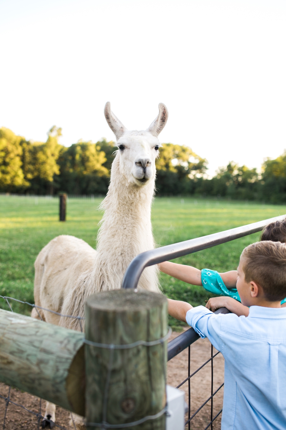 Llama at a wedding Destination Wedding Photographer Amilia Photography