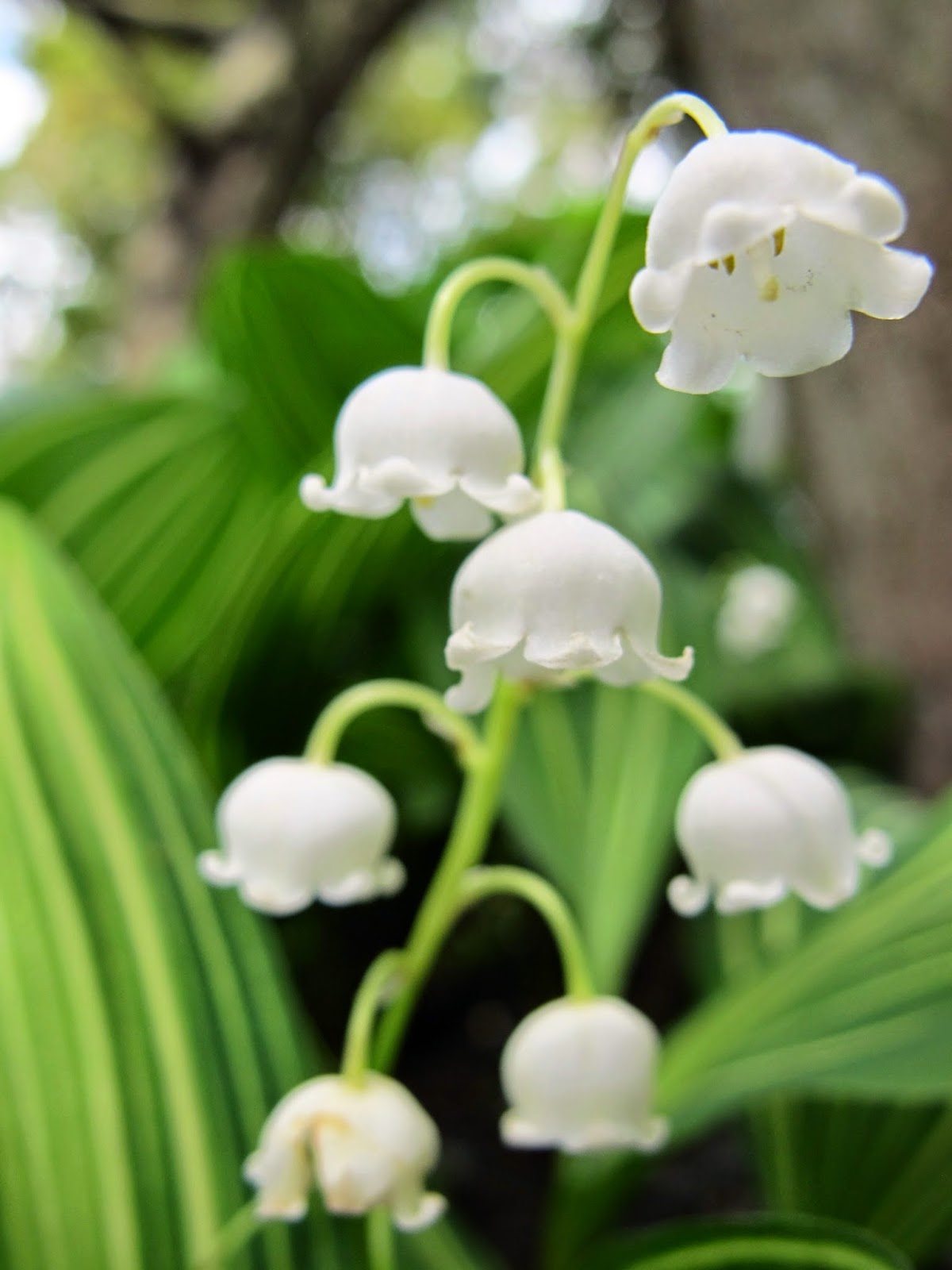The meaning of flowers lily of the valley happiness dayton the meaning of flowers lily of the valley happiness izmirmasajfo