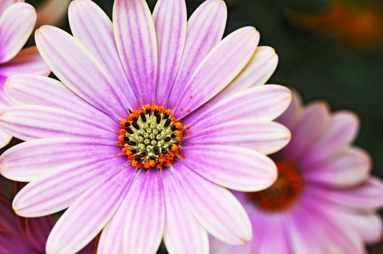 The meaning of flowers daisy innocence dayton ohio weddings the meaning of flowers daisy innocence izmirmasajfo