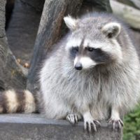Wildtiere in der Stadt: Der Waschbär