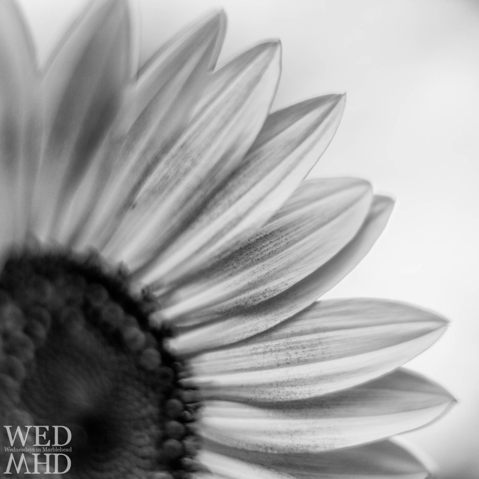 Sunflowers in Black and White  Marblehead MA