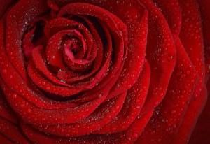 Rosenblätter Tabakersatz Weed Kiffen Bauen WEEDIN