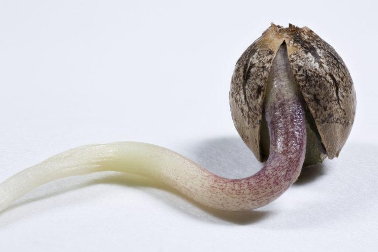 germinated cannabis seed