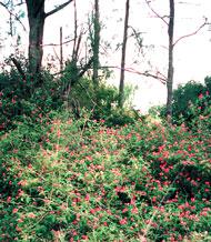 Lantana thickets in bushland
