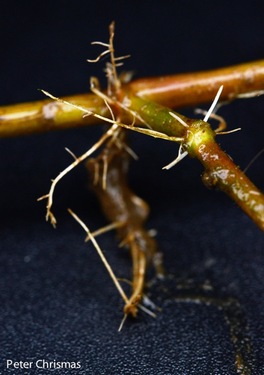 Alligator Weed nodes and roots