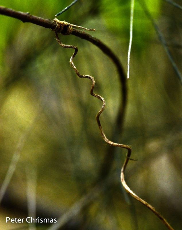 Balloon Vine tendril