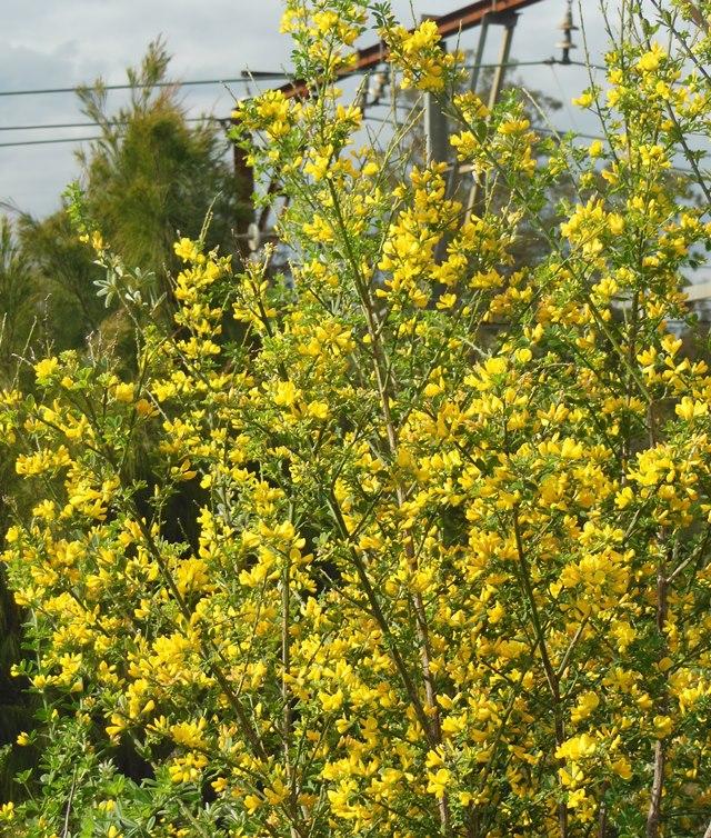 Cape Broom blossom