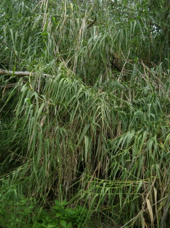 Giant Reed habit