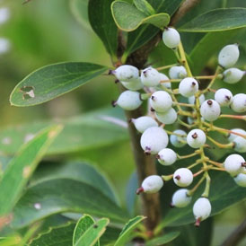 Berberis white berries