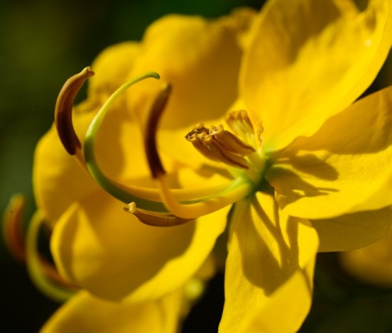 Yellow Cassia flower close up