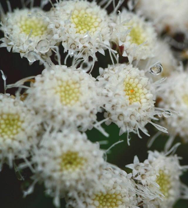 Photo of Crofton Weed flower detail