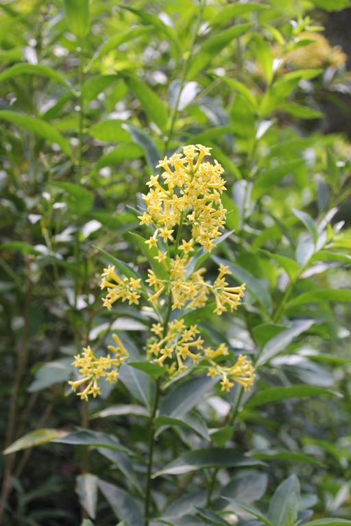 Green Cestrum flower