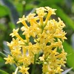 Green Cestrum yellow flower head