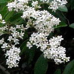 Small leaf privet white flower clusters
