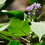 Wild tobacco with purple flower