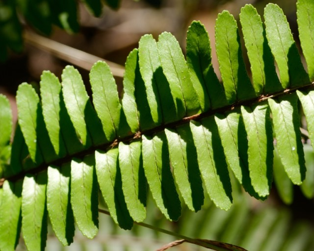 Fishbone fern leaf