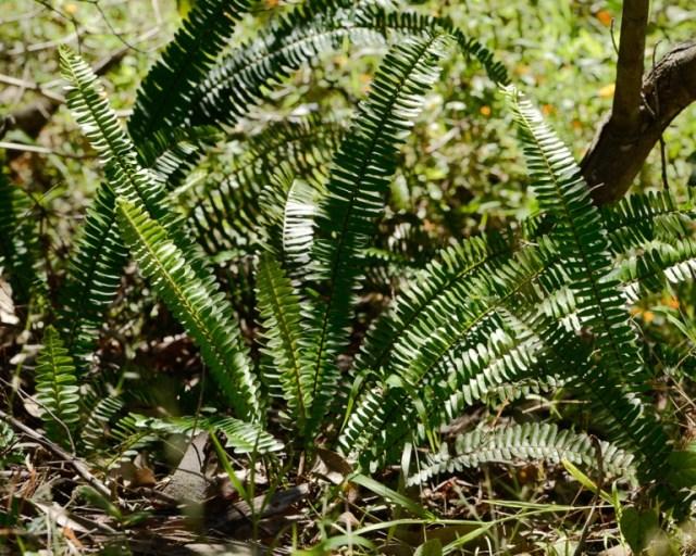 Fishbone fern plant