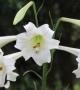 Formosan lily