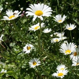 Ox-Eye-Daisy-e1535888654547