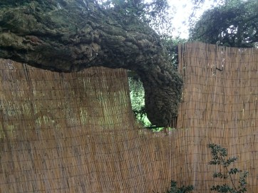 This branch extends from the park into the 'Cork Oak Border' in the garden