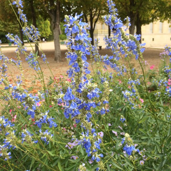 Salvia uligonosa at Versailles September 2019