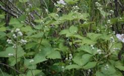 Himalayan Blackberry budding