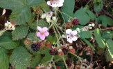 Fruiting blackberry