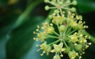 English ivy flowers