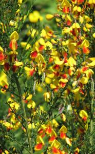 Scotch broom bicolor flower