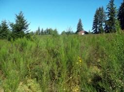 large vegetated Scotch Broom Infestation