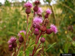 Canada thistle flowers