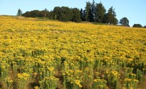 Tansy Ragwort Infestation