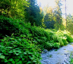 Japanese knotweed growing along Deep Creek. Photo by Clackamas River Basin Council