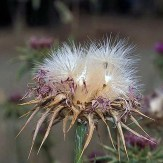 Blessed milkthistle fruits
