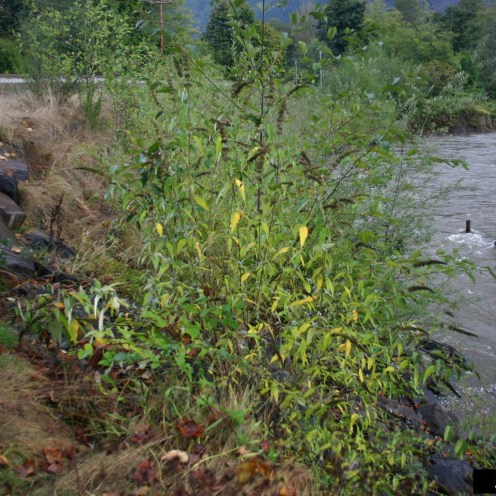 Butterfly Bush invading a river bank