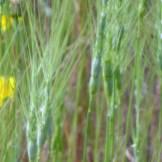 Aegilops triuncialis infloresence