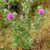 Bull thistle stem and flowers