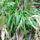 False brome leaves