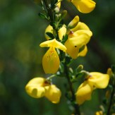 Scotch broom flowers