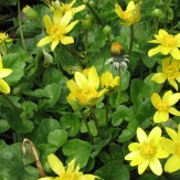 Ranunculus ficaria flowers
